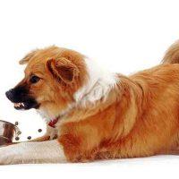 cane aggressivo ringhia con ciotola