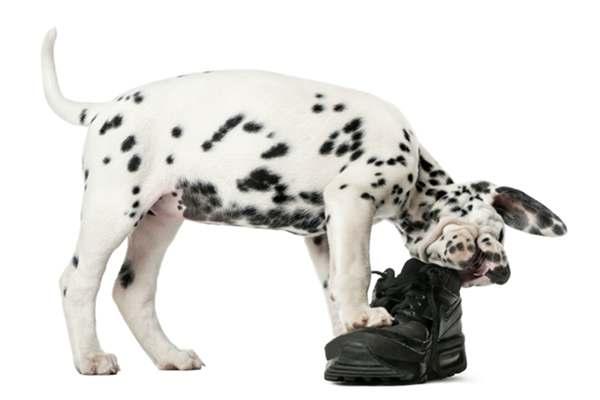 cucciolo dalmata mangia scarpa