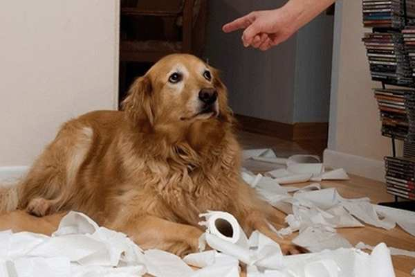 labrador gioca con carta igienica