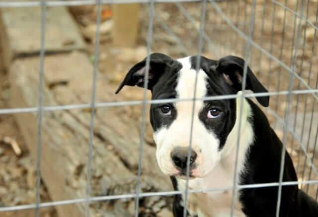 cucciolo di Amstaff in canile