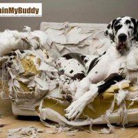 Alano distrugge divano