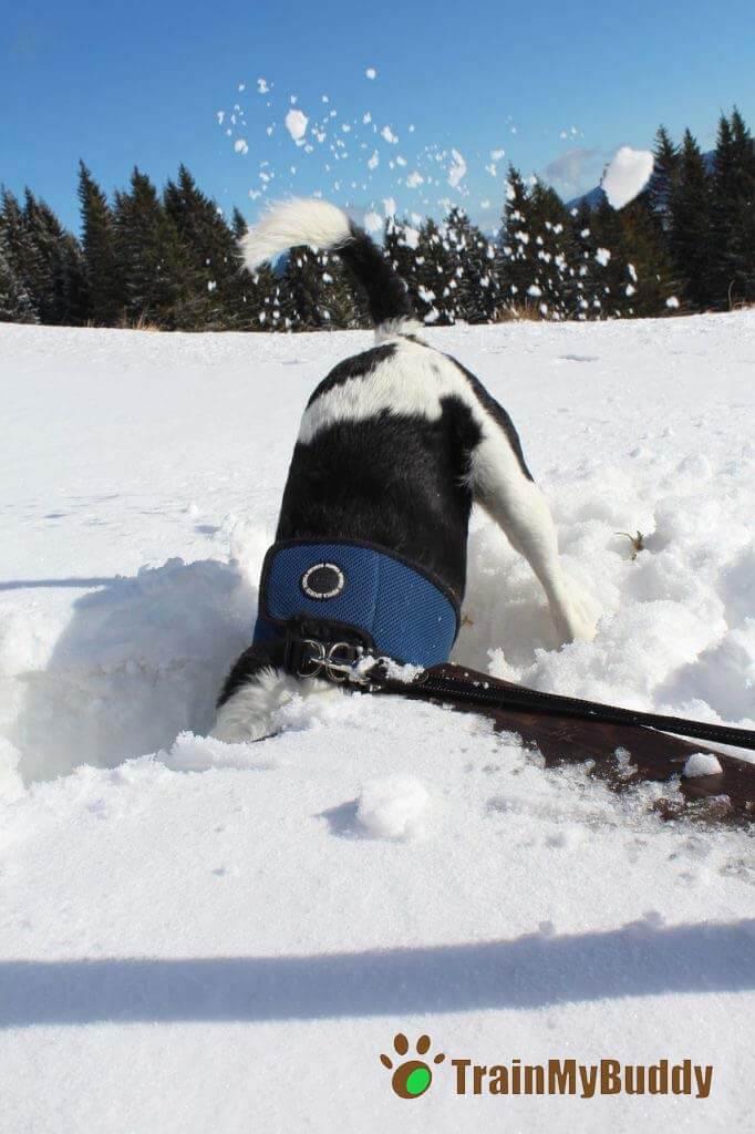 American Staffordshire nella neve