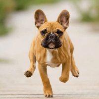 bull dog cucciolo in corsa