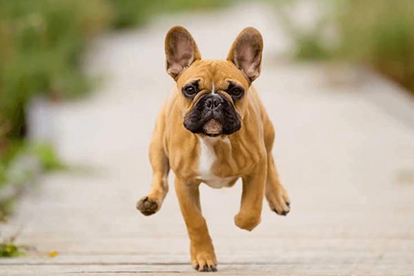 Cagnolino in corsa