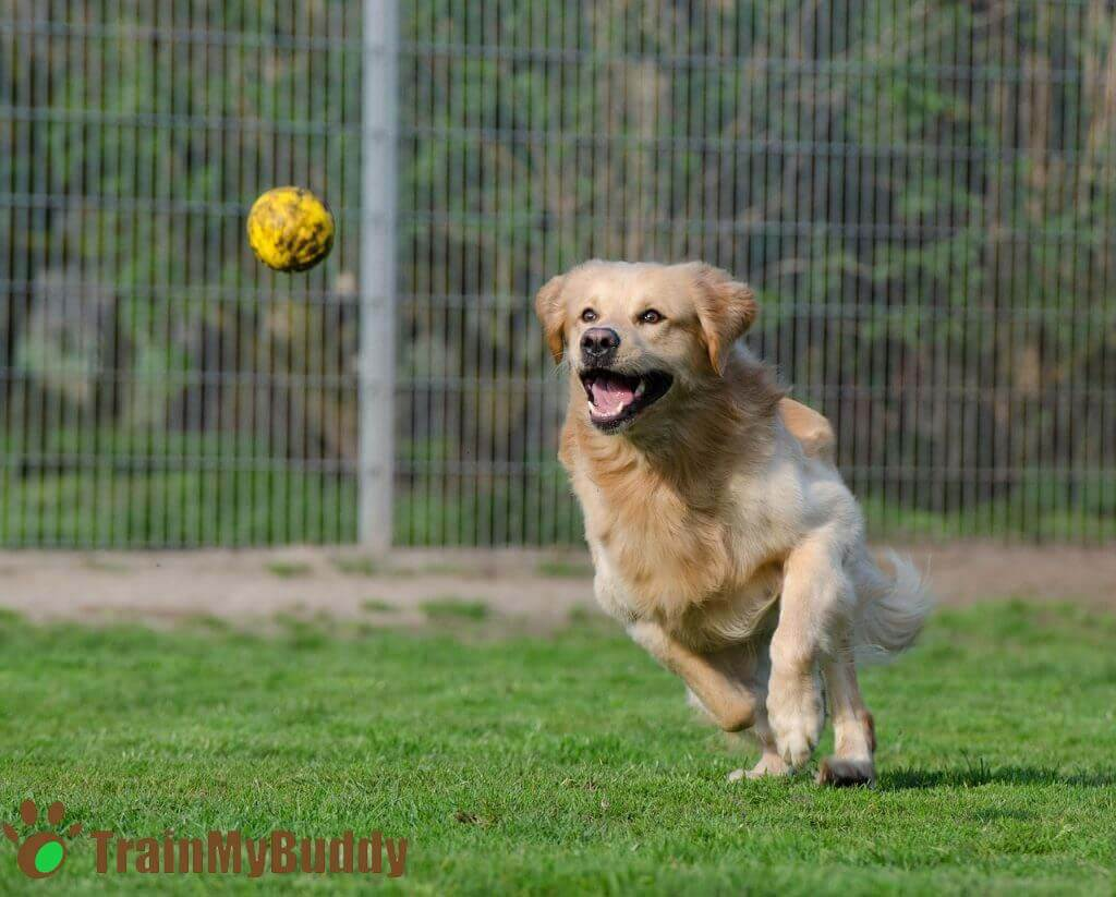 cane golden retriever gioca con pallina