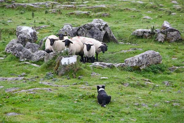 cane pastore con pecore