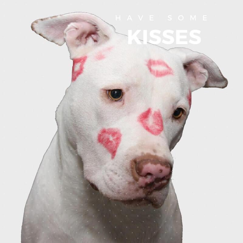 pitbull bianco con baci rossi